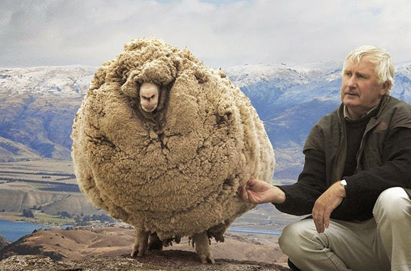 The-Renegade-Sheep-That-Avoided-Shearing-For-Six-Years-By-Hiding-In-A-Cave
